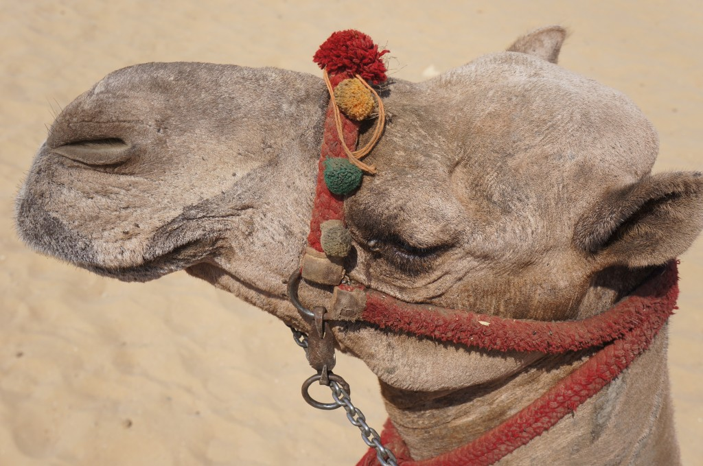 Big camel head shot in Cairo, Egypt!