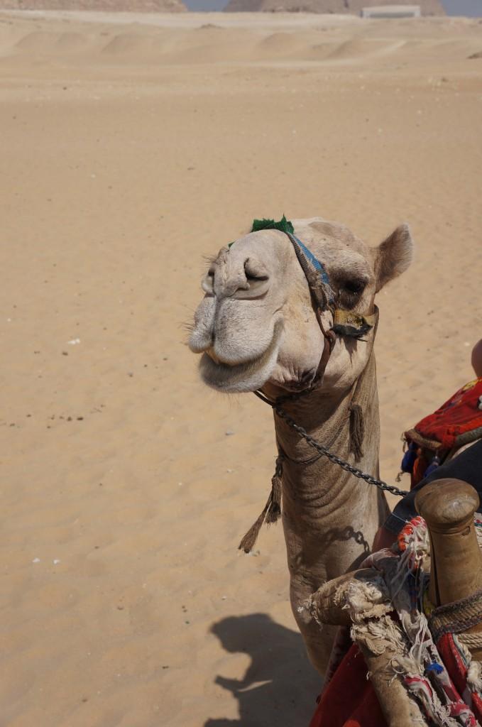 Smiling camel in Egypt!
